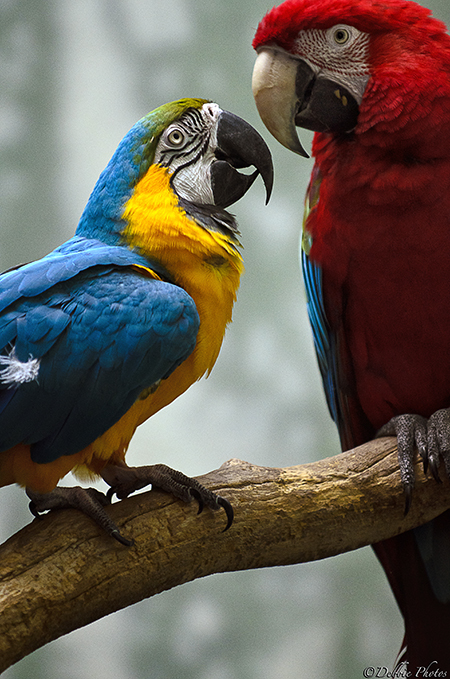 Blue&Gold Macaw and Green-Winged Macaw