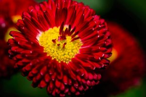 English Daisy - Debbie Photos