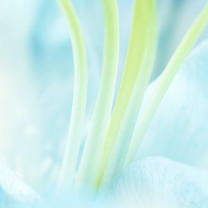Blue Rose Stamens